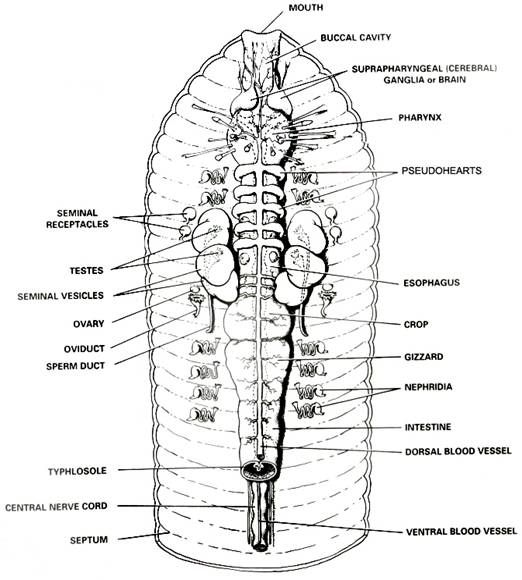 Earthworm Anatomy And Dissection Guide With Images Earthworms
