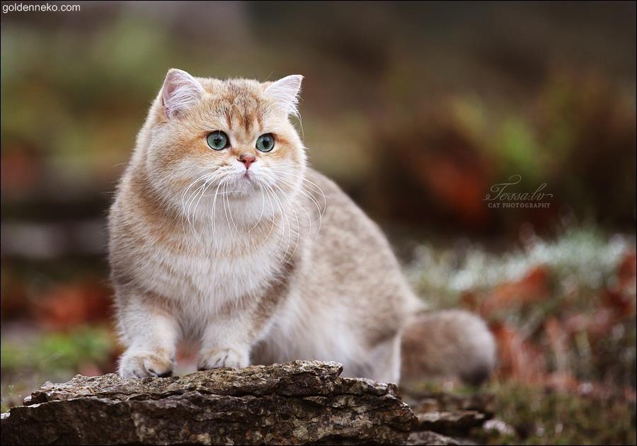Golden Corrado Google Kereses Britisch Kurzhaar Katzen