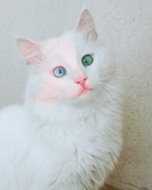 yeux,vairons,chat,yeux,de,couleur,differente,david,bowie