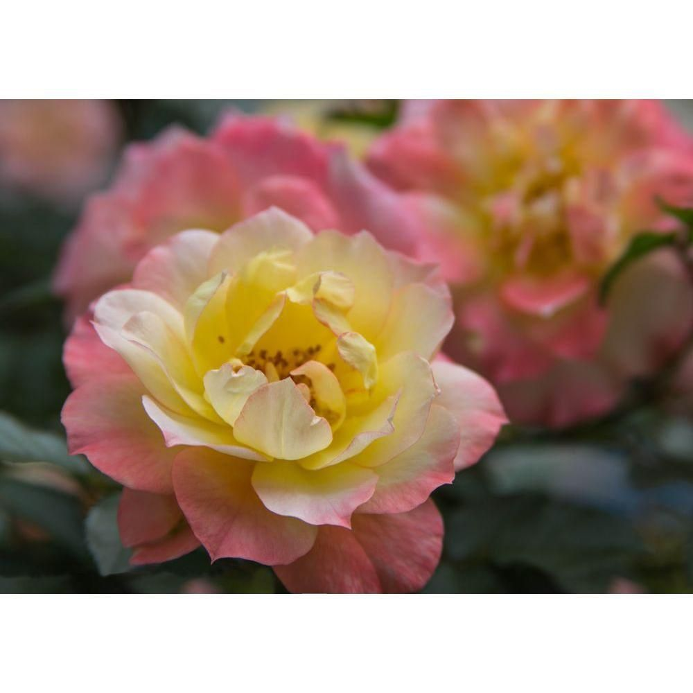 Proven Winners 1 Gal. Oso Easy Italian Ice Landscape Rose (Rosa) Live Shrub Orange, Pink and Yellow Flowers-ROSPRC1086101 - The Home Depot #knockoutrosen