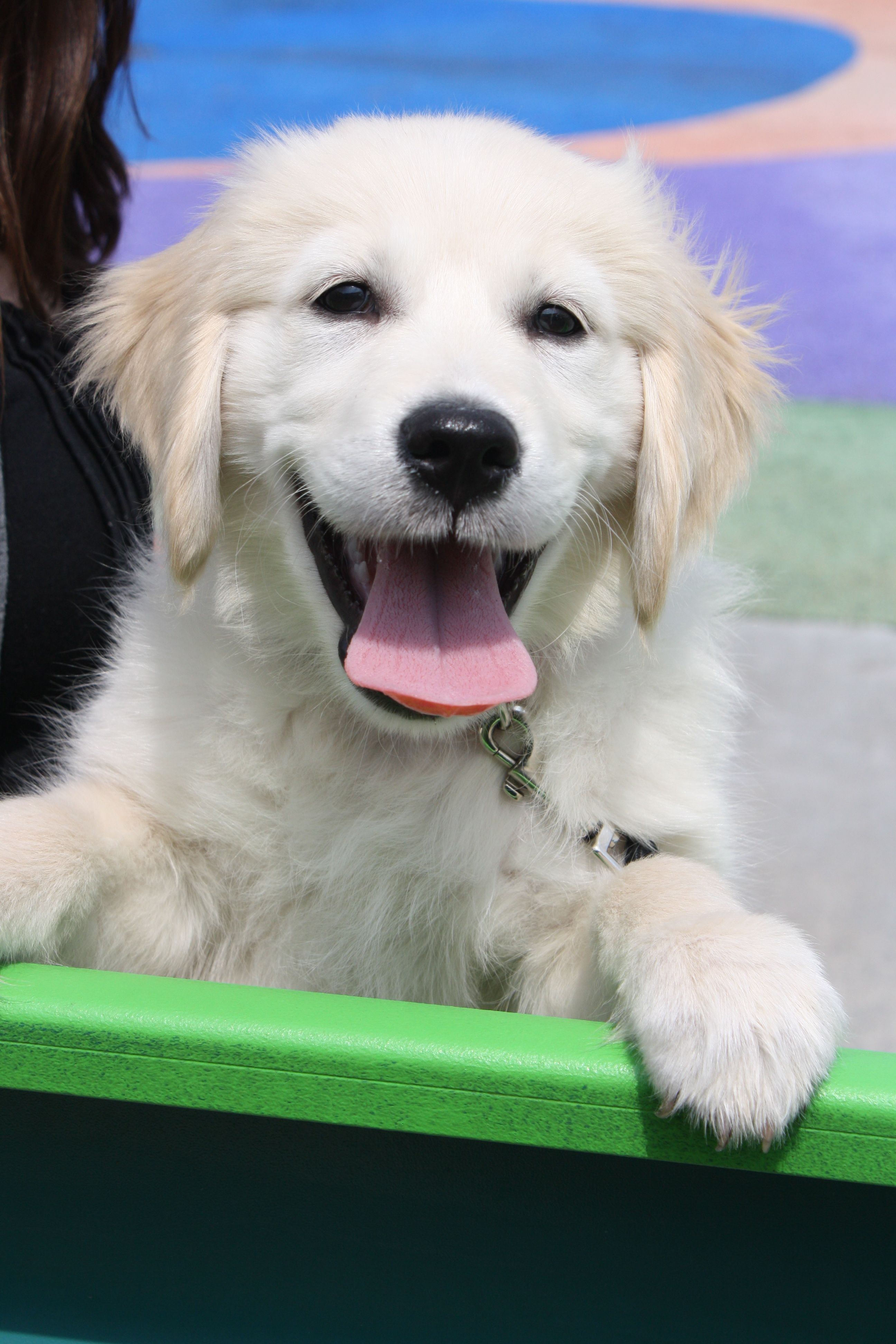 Puppy Smiles And So Do I When I See This Face White Golden