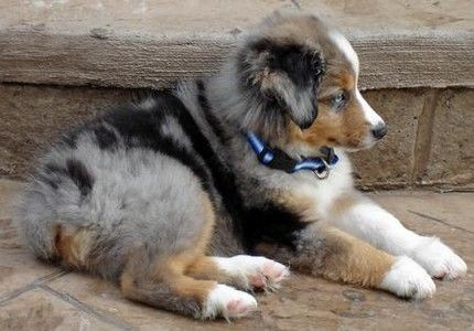 Miniature Australian Shepherd Miniature Australian Shepherd Australian Shepherd Cute Little Animals