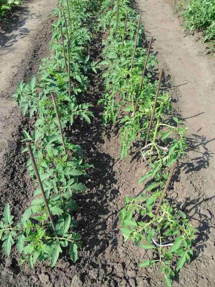 Comment planter des tomates : fiches pratiques et conseils ...