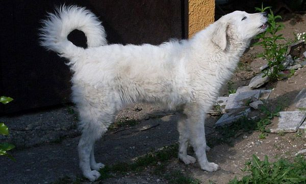 KUVASZ DOG ღ¸.•*¨`*•.•❥  Breed is very old and has a distinguished past. King Matyas the First of Turkey claimed to trust his Kuvasz dogs over people. After his death the dogs made their way out of palaces into the woods to hunt big game like bear and boar.