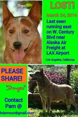 Lost At Lax Alaskan Airways Cargo Area Red Australian Cattle Dog Male Name Dragon Jmwbx 4408389112 Comm Craigslist Losing A Dog Losing A Pet Police Canine