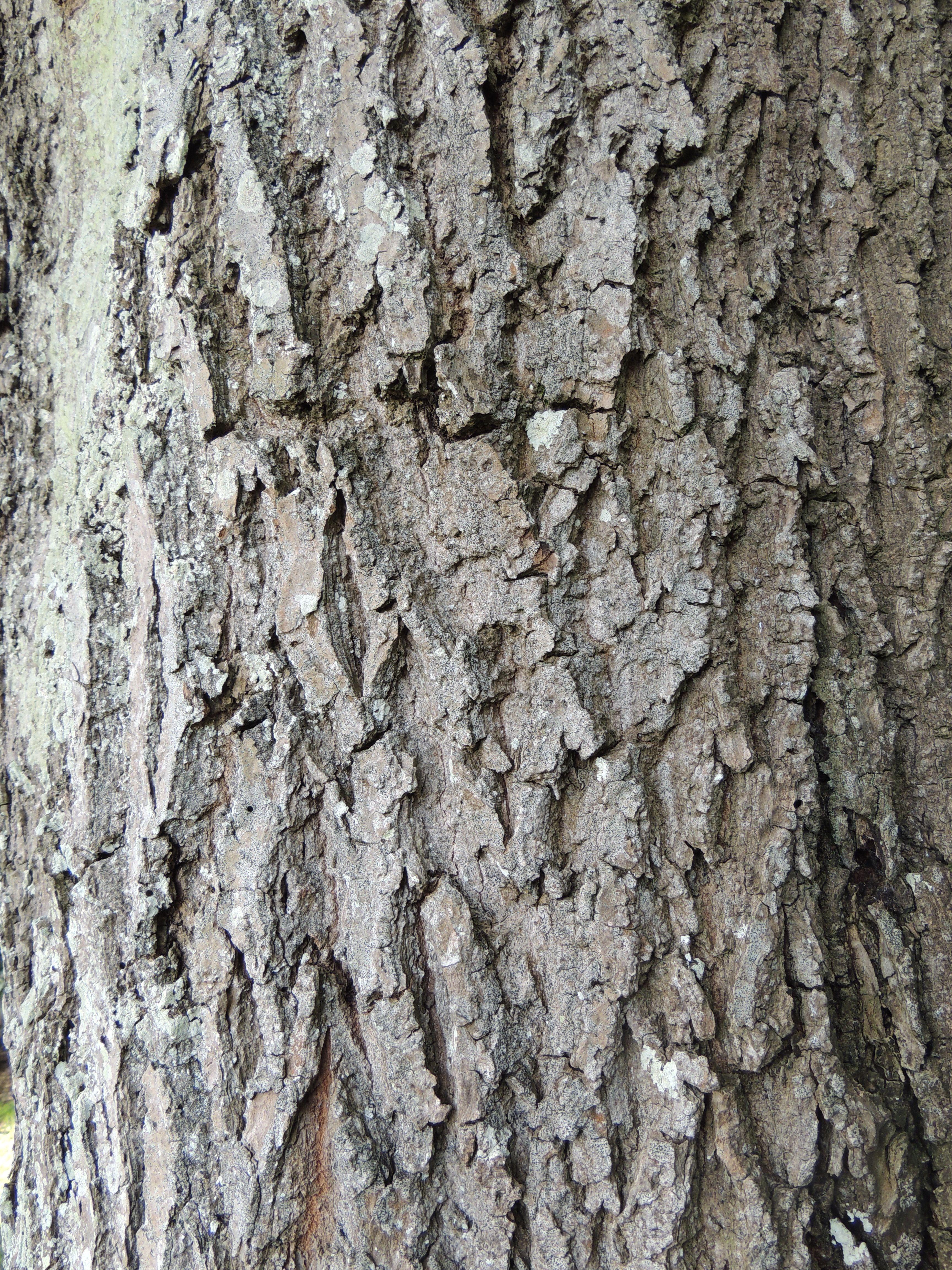 Common ash (Fraxinus excelsior) bark, not quite so rough