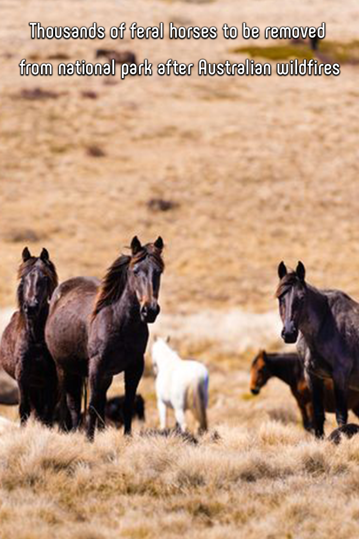 Thousands of Feral Horses to Be Removed From National Park