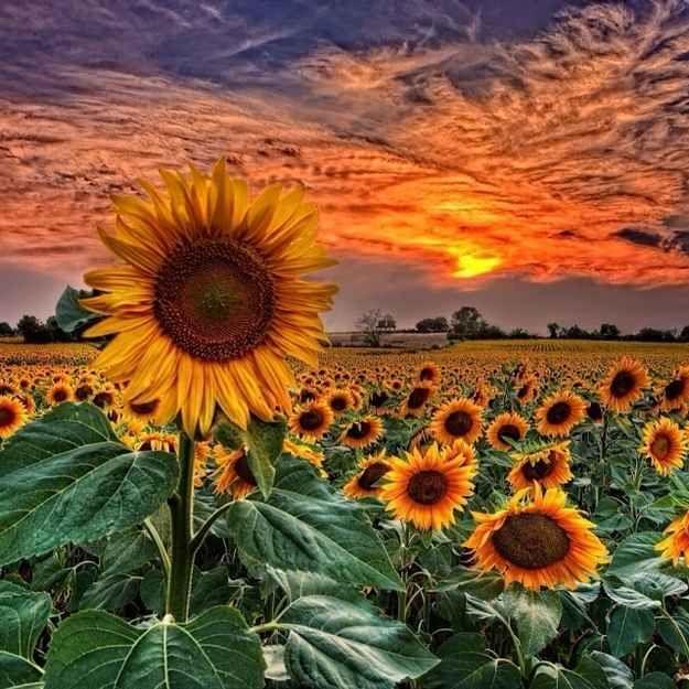 Spain Sunflower Sunset Sunflower Wallpaper Beautiful Nature Beautiful sunflower field hd wallpaper