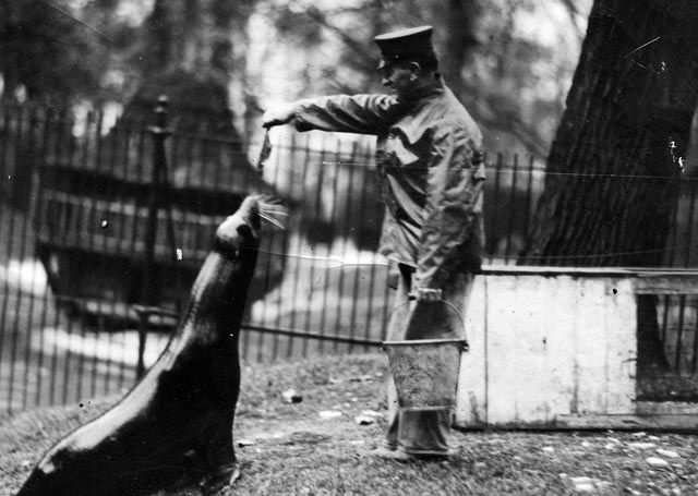 A zookeeper feeds the seals at the Belle Isle Zoo 1920. (The Detroit News)