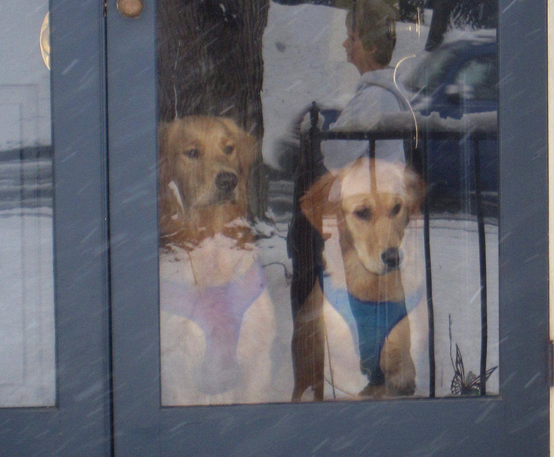 golden retriever puppies rescue louisiana