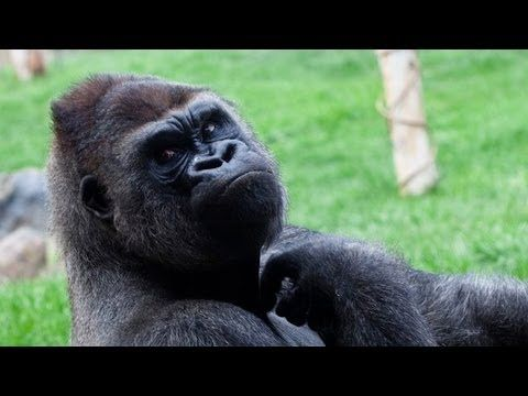 Silverback Gorilla Attacks After Little Girl Pounds Chest ...