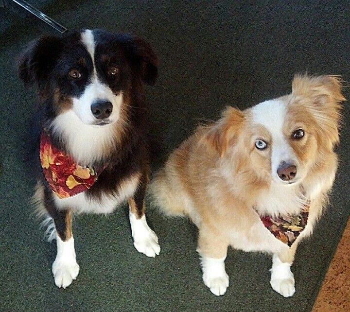 Fluffy lil aussie dogs aussie dogs working dogs dogs