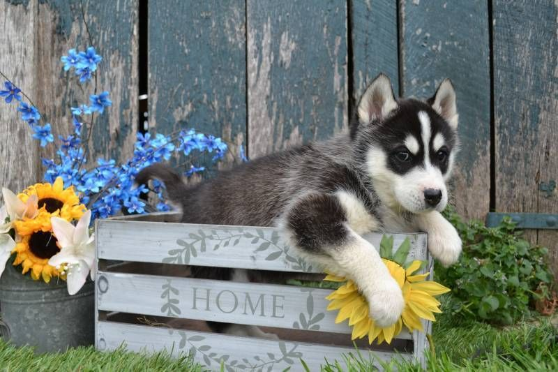 Siberian Husky Puppies For Sale That Doggy In The Window That