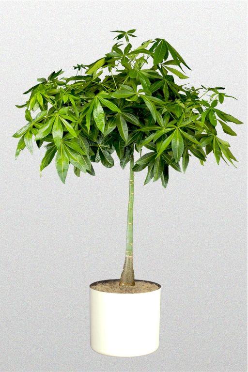 Providing Tree And Plant Care: Pachira Acquatica (Money Tree) #houseplants Are Used To