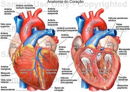 anatomia coração - Pesquisa Google | Серце | Pinterest | Anatomía ...