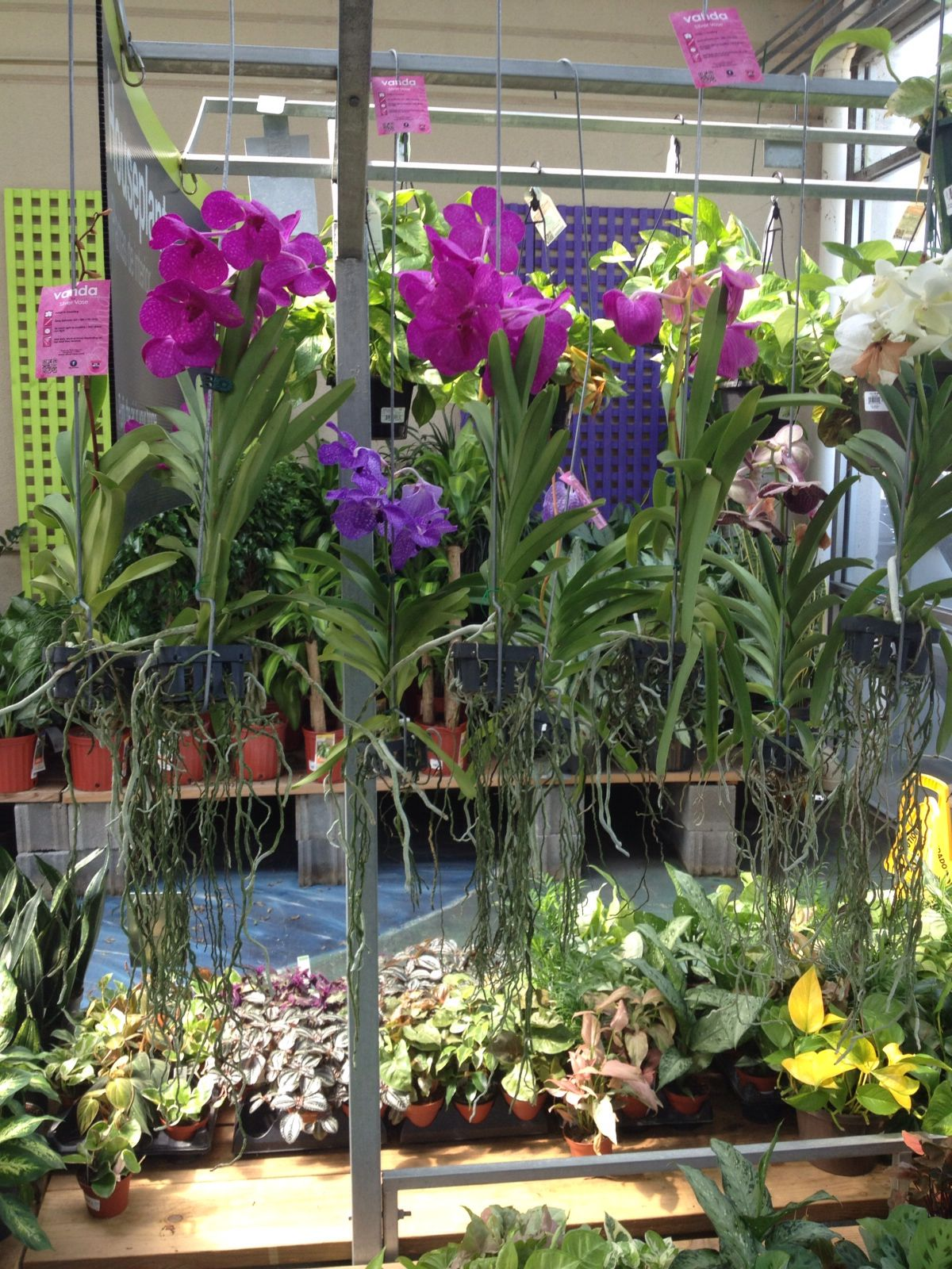 Vanda Orchids At Home Depot In Greensboro Nc
