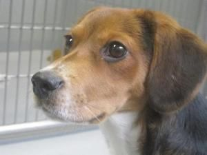 Adopt Laika On P Adopt Friends Beagle Dog Adoption Adoptable Beagle