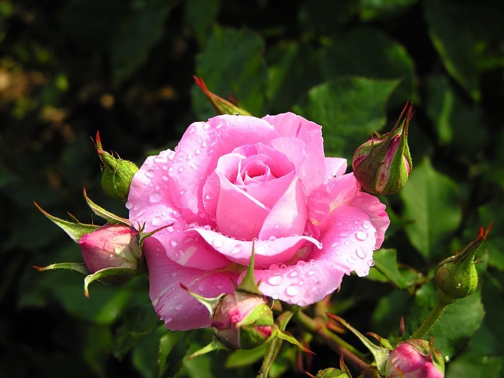flower photos free flowers flowers pictures of rose beautiful