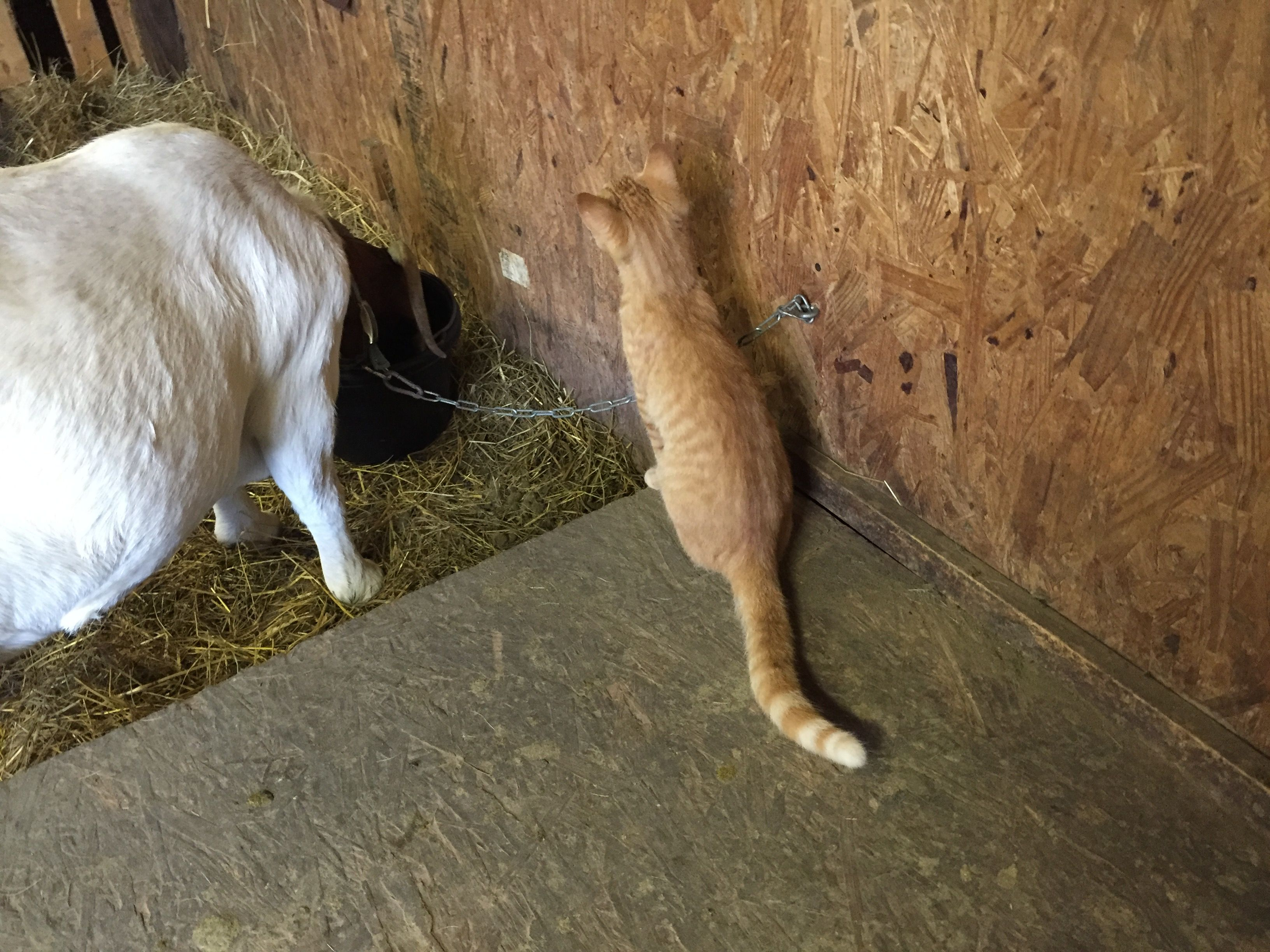 It's Monday so what you got there? monday kitty goats