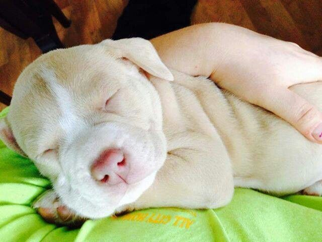 In Love With This Color Blonde Pitbull Pitbull Puppies Cute