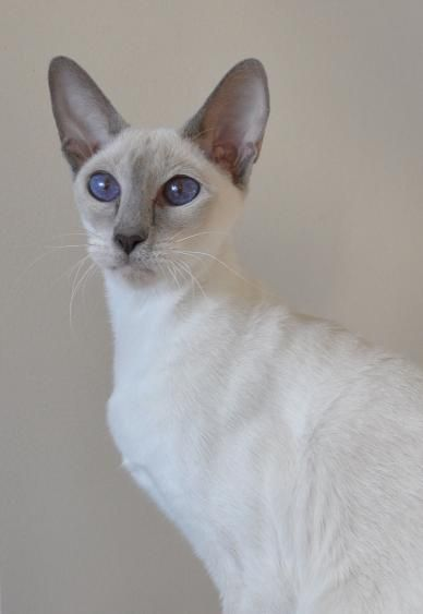 Sahja Siamese Cats Oriental Cats Females Cats Siamese Cats Siamese Cats Blue Point Oriental Cat