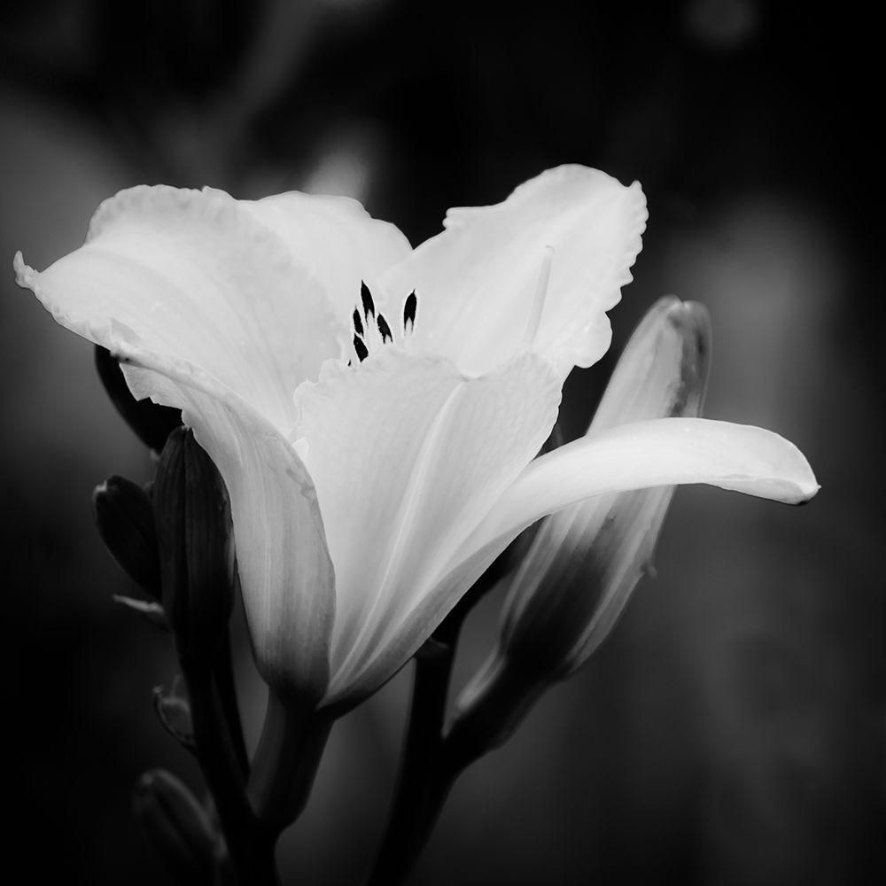black and white photography flowers wwwpixsharkcom