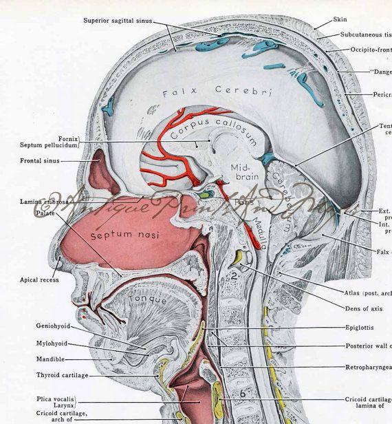 Vintage Medical Anatomy Illustration Head by AntiquePrintsAndMaps, $8.00
