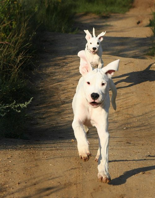 Dogo Argentino Dog Argentino Pet Dogs Domestic Dog