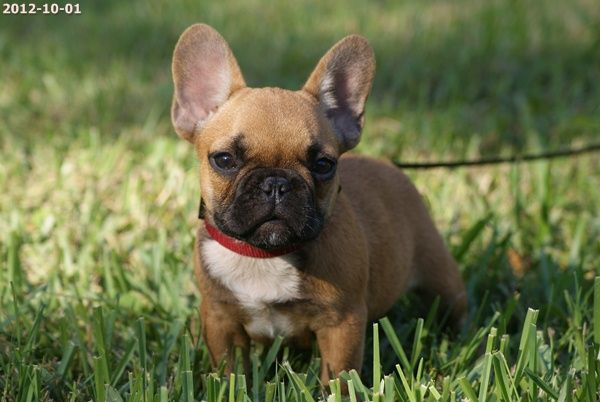 Versal Red Fawn Mini French Bulldog French Bulldog French