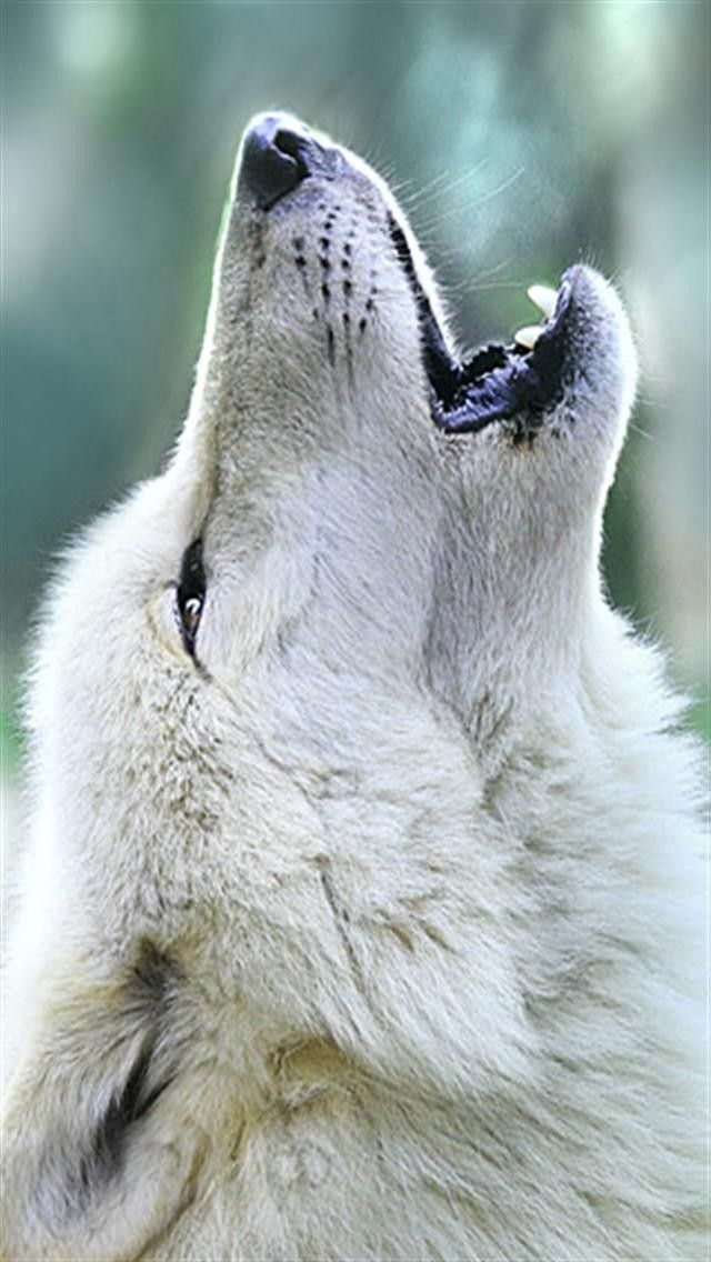 wolf wallpapers ndash animal - photo #31
