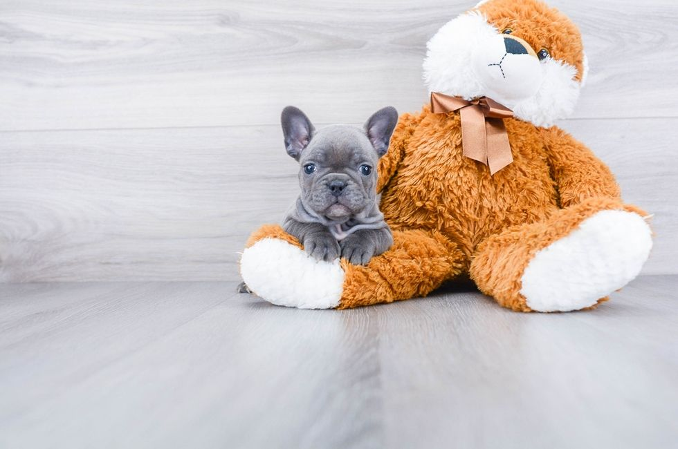 French Bulldog Puppies For Sale Ohio Comfortable Us Shipping Online In 2020 Bulldog Puppies For Sale French Bulldog Puppies Puppies For Sale
