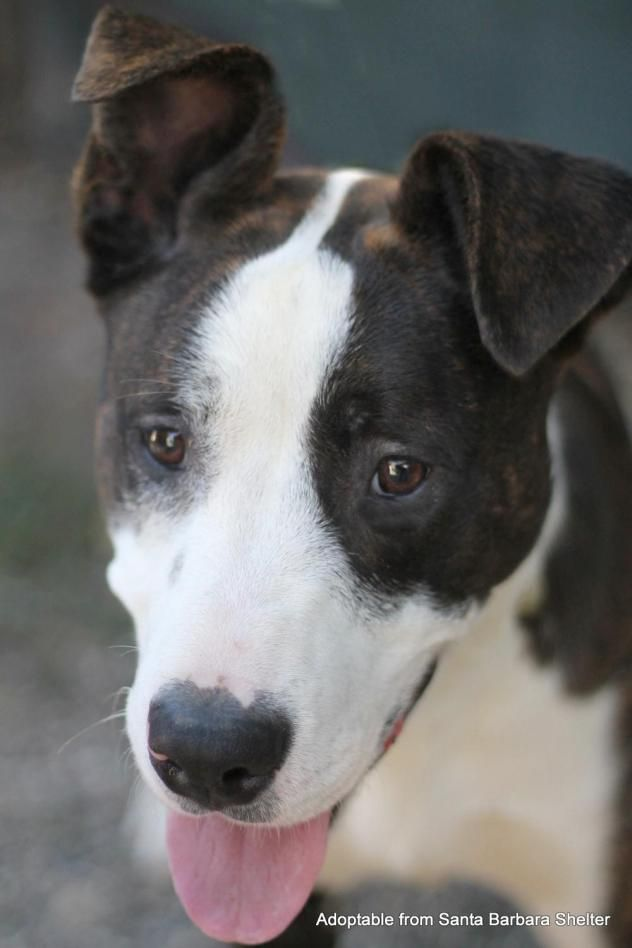 Adopt Bowser On Terrier Mix Pets Border Collie
