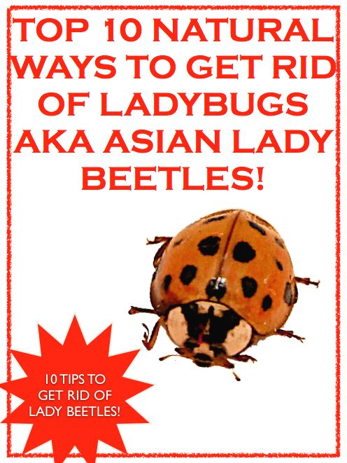 Asian bug get lady rid