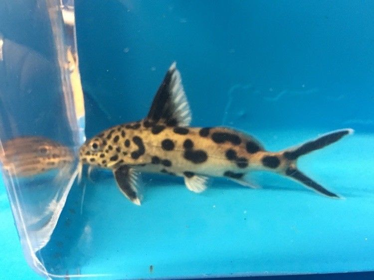 Synodontis Multipunctatus 2 5 Inch In Length Live Tropical Fish Aquarium Fish Fish Pet Tropical Fish