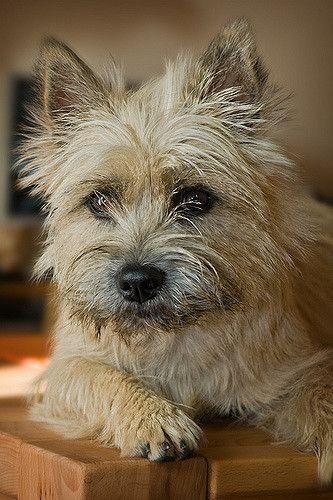 Emma Cairn terrier puppies, Terrier puppies, Terrier dogs