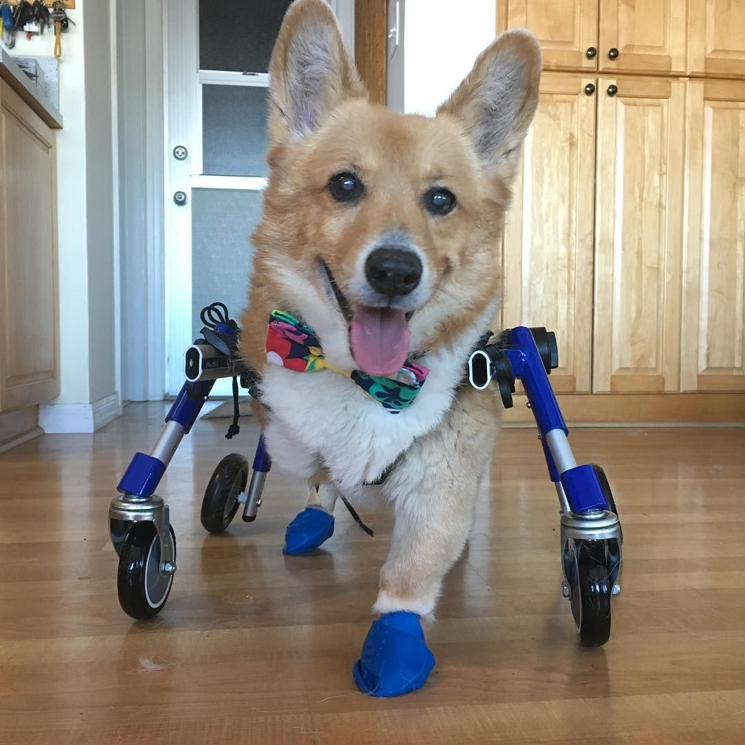 Isosceles, the 3-legged Corgi, is happy to be cruisin' around in his new Walkin' Wheels for the ladies! @isoscelesthecorg