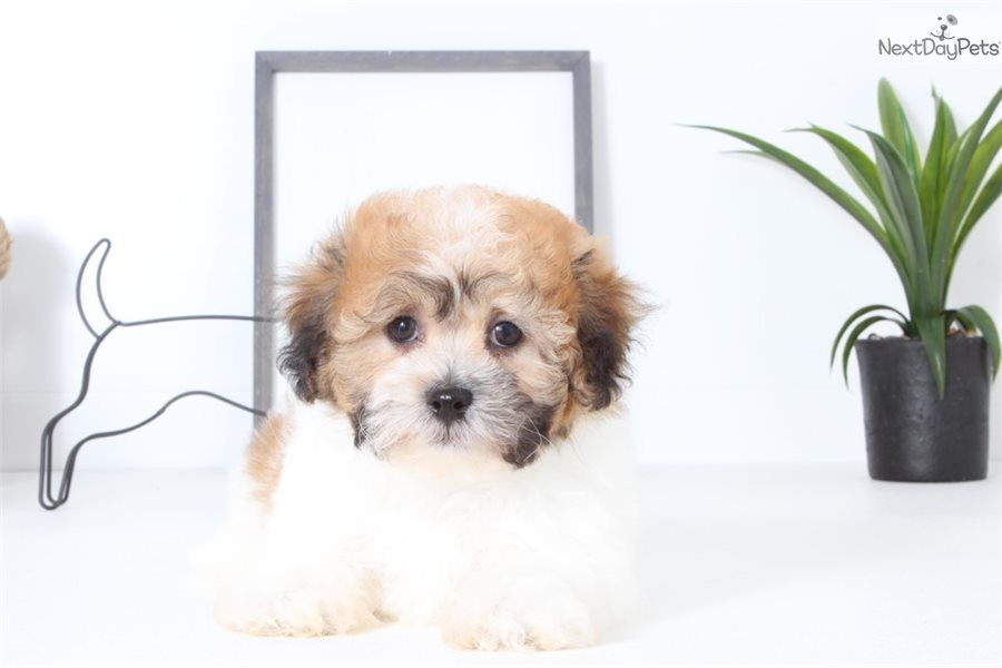 Murphy Shichon puppy for sale near Ft Myers / SW Florida