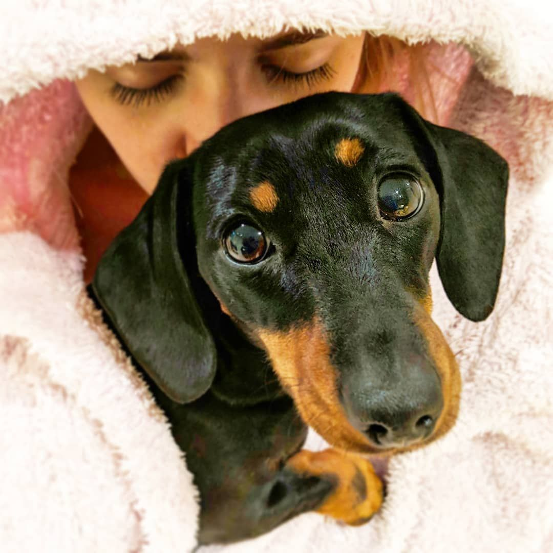 Dachshund Products Apparel And Gifts Dachshund Central Dachshund Breed Clever Dog Dogs