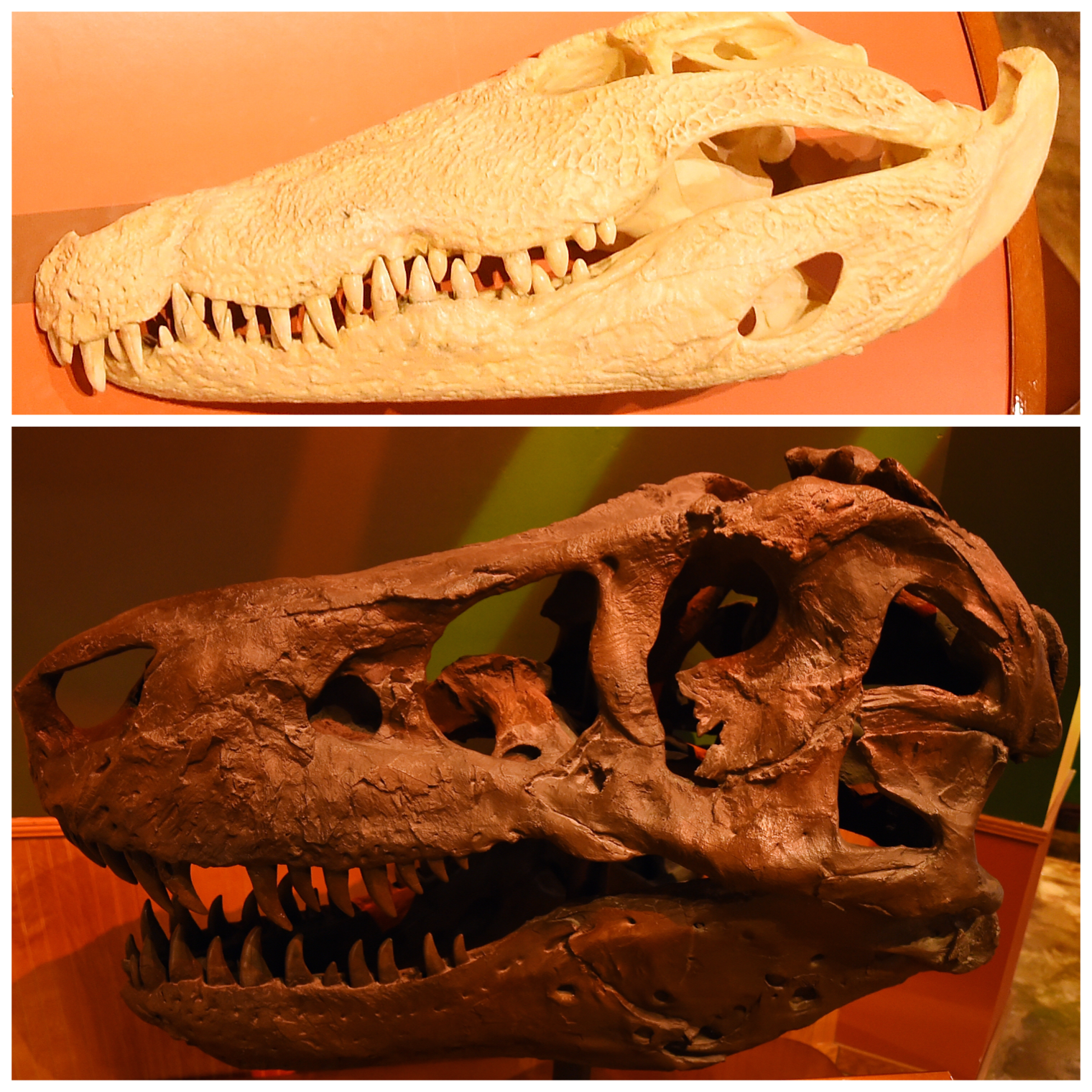 True Or False A Crocodile Has A Higher Bite Force Than