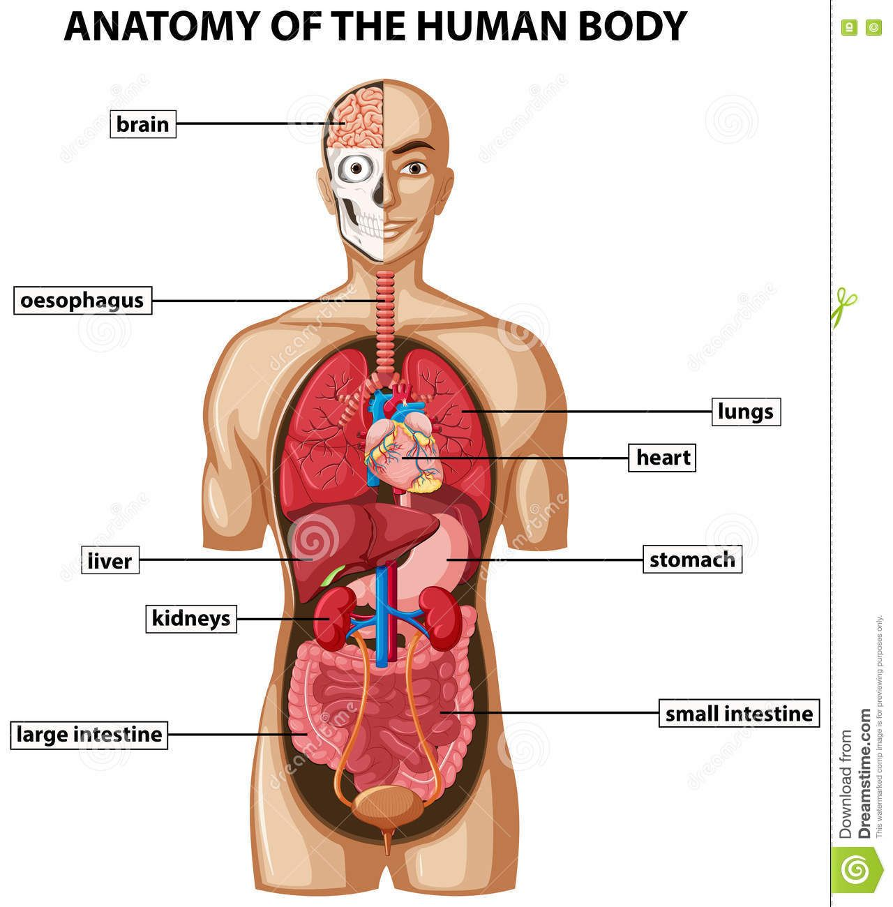 Diagram Of Human Body With Organs Human Anatomy Study Pinterest