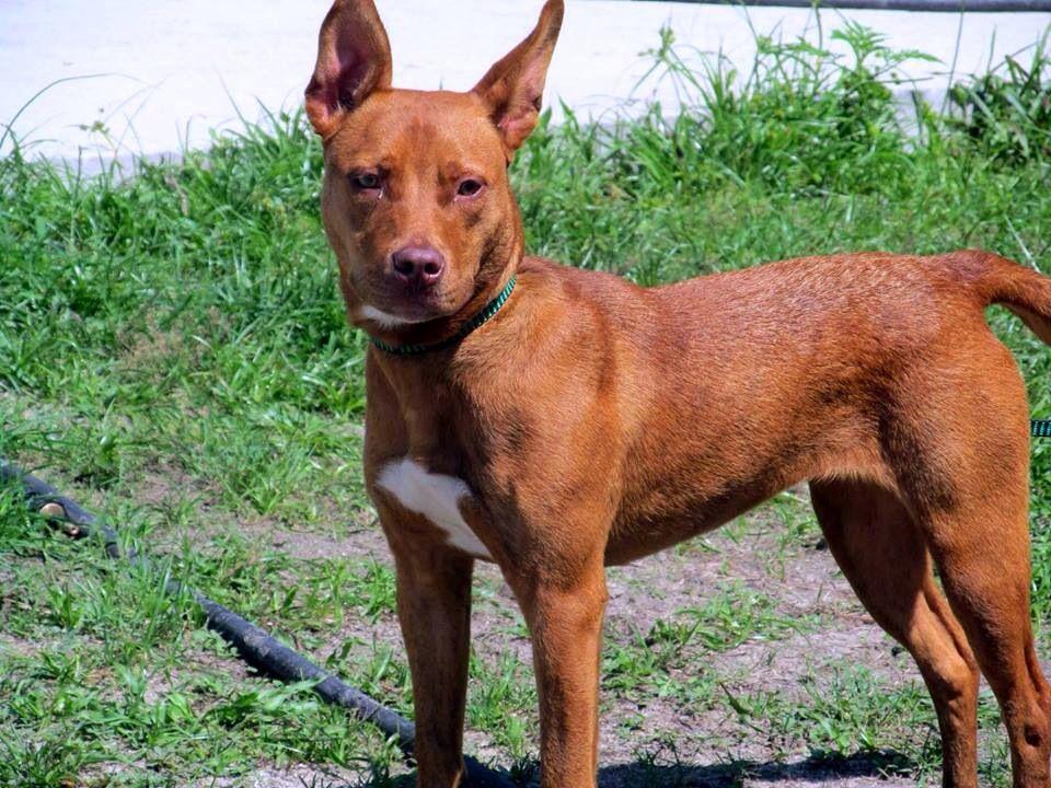 Founddog 61714 STRAY Jacksonville FL female Basenji