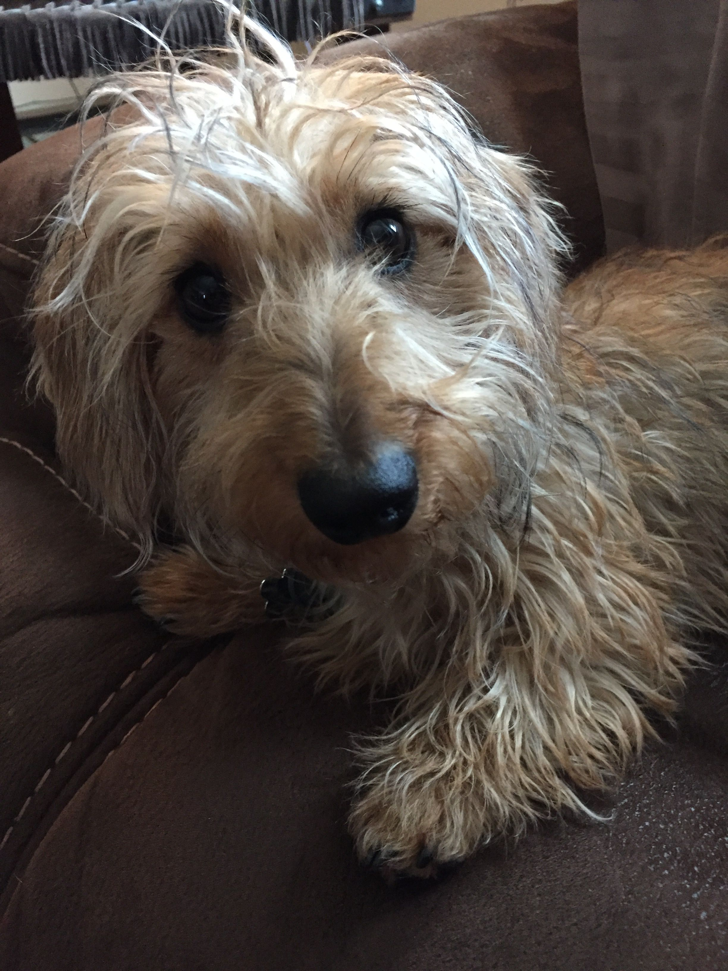 Pin By Gloria Vail On Wirehaired Doxies Wire Haired Dachshund