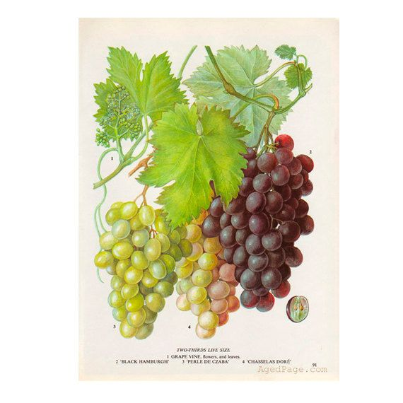 Eating Grapes Art Print Botanical Fruit Illustration Kitchen Wall Art