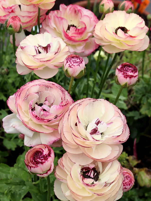 Ranunculus Bagged Bulbs 5 Bag White Picotee Buy Online At Annie S Annuals Ranunculus Flowers Flower Farm Ranunculus