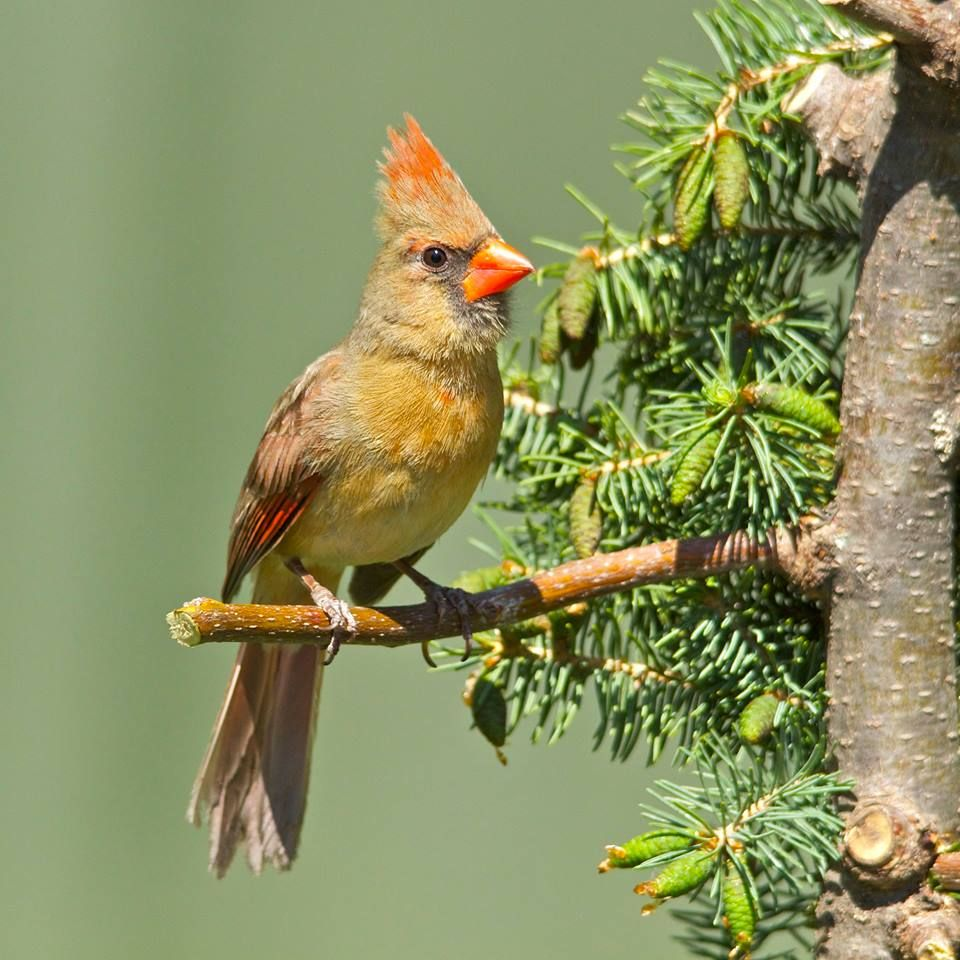 Northern Cardinal-female. (Cardinalis cardinalis)