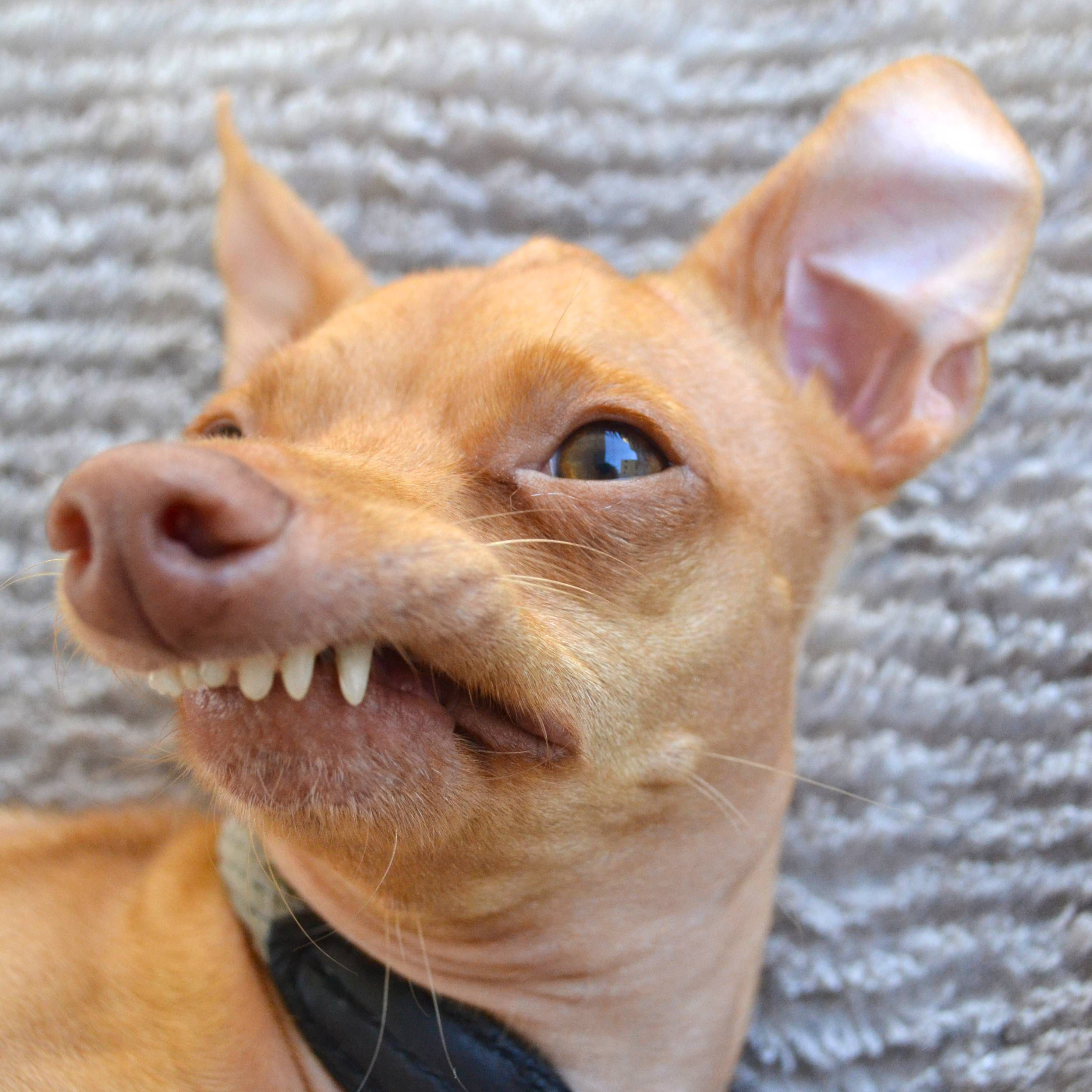 Tuna, the Chiweenie With an Overbite