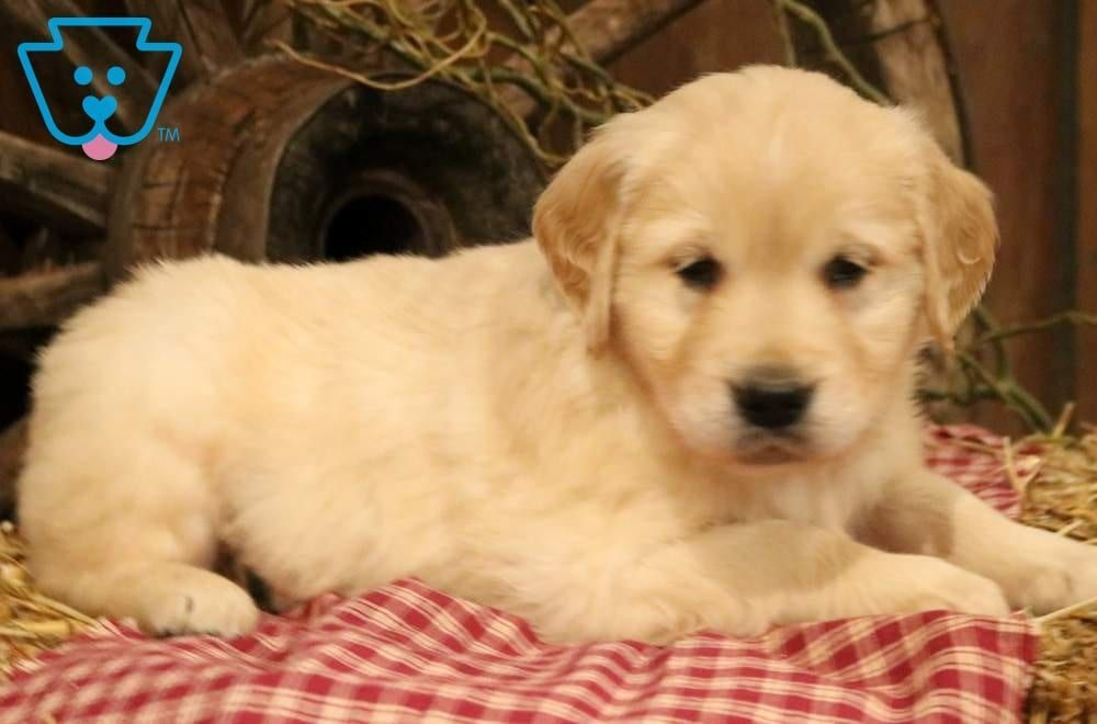 Maynard In 2020 Puppies For Sale Golden Retriever Baby Animals Super Cute