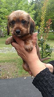 Dachshund Yorkie Yorkshire Terrier Mix Puppy For Adoption In