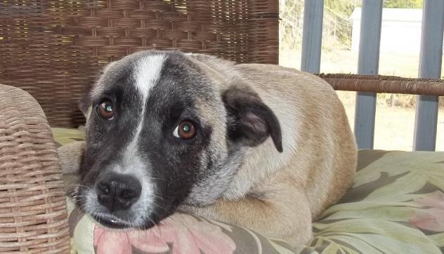 Adopt Raphael On Labrador Retriever Mix Animals Animal Rescue