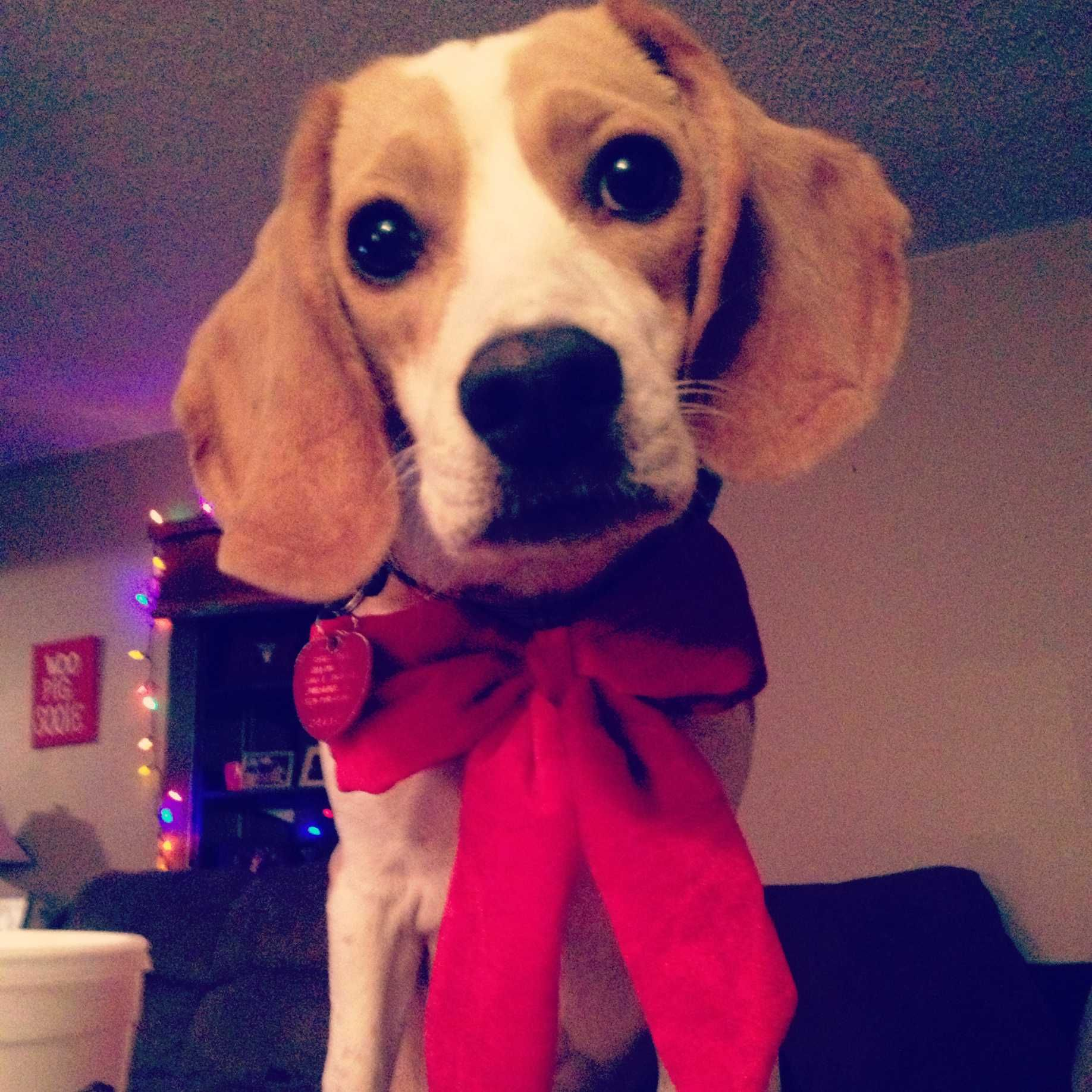 Georgia The Lemon Beagle All Dressed Up For Christmas With